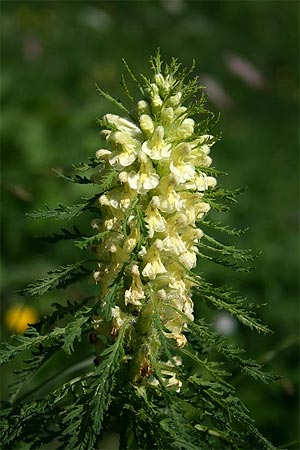 Blattreiches Läusekraut - Pedicularis foliosa